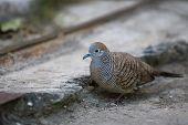 Closeup Spotted Dove Or (spilopelia Chinensis) Looking For Food And Green Eye,closeup Spotted Dove O poster