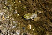 Walking On The Bottom Of The Frog In The River. Amphibian Swims In The River poster