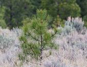 picture of sagebrush  - Young pine tree growing up among grass and sagebrush - JPG