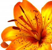 Yellow Orange Lily