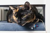 Close Up Of Tortoiseshell Cat. Tortoiseshell Cat Portrait. Close Up Of Tortoiseshell Cat On Chair. C poster