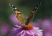 Butterfly On Chrysanthemum
