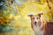 stock photo of collie  - Border collie dog portrait on the spring sunshine background - JPG