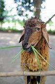pic of cashmere goat  - Brown sheep on the farm eats green grass - JPG