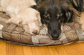 stock photo of chocolate poodle  - Adult dog resting on a pillow next to a pup - JPG