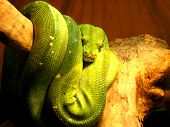 picture of green tree python  - image of green hidden boa on the branch of tree