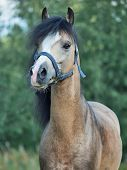 stock photo of buckskin  - portrait of Beautiful buckskin welsh pony - JPG