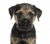 foto of border terrier  - Close - JPG