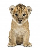 Lion cub, 4 weeks old, isolated on white