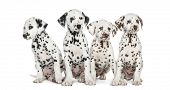 pic of herding dog  - Group of Dalmatian puppies sitting - JPG