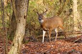 stock photo of deer rack  - Whitetail Deer Buck standing in a woods - JPG