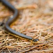 pic of snake-head  - Grass Snake  - JPG