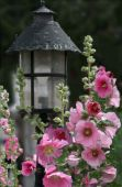 image of hollyhock  - Hollyhock Light post on a summer day - JPG