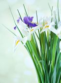 Beautiful irises, isolated on white