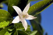 picture of orange blossom  - Orange blossom macro extreme closeup with water drops green leaves deep blue sky behind - JPG