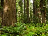stock photo of sequoia-trees  - Large trees in nature California daytime summer - JPG