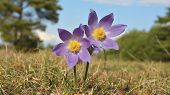 pic of rare flowers  - Rare Spring Flower Pulsatilla montana in a sunny day