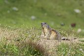 pic of marmot  - marmot stands out of its den - JPG