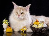 Maine Coon cat  and easter egs