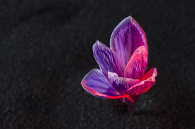 picture of sand lilies  - crocus flower on the black sand background with ruby - JPG