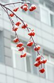 picture of mountain-ash  - A snow - JPG