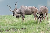 stock photo of greater  - Two Greater Kudu mammals at the top of a green hilltop  - JPG