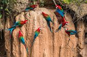 stock photo of jungle birds  - macaws in clay lick in the peruvian Amazon jungle at Madre de Dios Peru - JPG