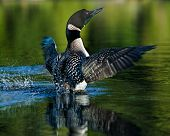 picture of loon  - Common Loon with wings spread fully. large wingspan