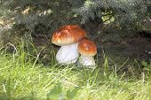 picture of fungus  - Fungus under the spruce - JPG