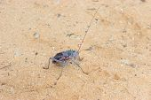 picture of cricket insect  - Armoured ground cricket in the Kgalagadi Transfrontier Park - JPG