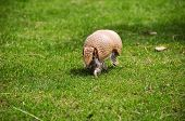 stock photo of armadillo  - A small three banded armadillo out for a walk - JPG