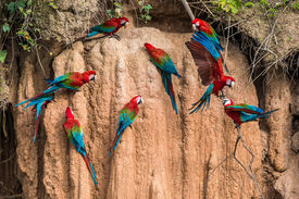 picture of green-winged macaw  - macaws in clay lick in the peruvian Amazon jungle at Madre de Dios Peru - JPG