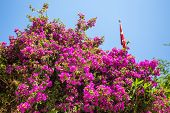 picture of oleander  - Oleander rose bay flower - JPG