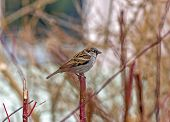 picture of tig  - single sparrow sitting on a single vertical red twig with blurred background  - JPG