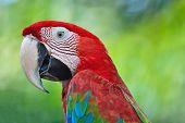 picture of parrots  - Beautiful parrot bird Greenwinged Macaw in portrait profile - JPG