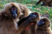 stock photo of lice  - Family of gelada baboons (Theropithecus gelada) socializing and picking eachother