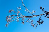 stock photo of alder-tree  - Male and female Alder catkins and twigs against an blue sky on a sunny day in wintertime - JPG