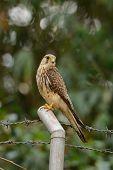 foto of bird fence  - beautiful female Common Kestrel  - JPG