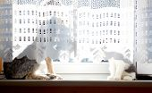 stock photo of lace-curtain  - Dog and cat sitting on window behind curtain - JPG