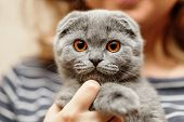 ������, ������: Scottish Fold Cat