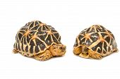 picture of tortoise  - Two Indian Starred Tortoise on white backgroung - JPG