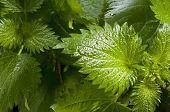 stock photo of sting  - Freshly stinging nettles for vegetarian diet and alternative medicine - JPG