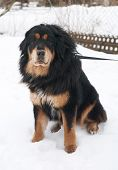 pic of tibetan  - Tibetan nice Mastiff sitting on white snow - JPG