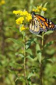 picture of monarch  - A monarch butterfly on a stem of goldenrod - JPG