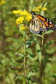 foto of goldenrod  - A monarch butterfly on a stem of goldenrod - JPG