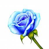 image of blue rose  - Blue Rose Flower isolated on white background - JPG