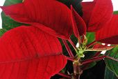 pic of poinsettias  - view of vibrant red poinsettia isolated close up - JPG
