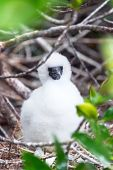 foto of booby  - Fluffy white red footed booby chick on Genovesa Island in the Galapagos Islands in Ecuador - JPG