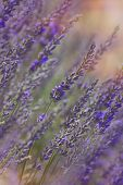 image of lavender field  - Growing lavender flower In a field at sunset  - JPG