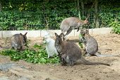 stock photo of wallabies  - grazzing family of cute Red necked Wallaby kangaroo with baby in bag and with white albino female - JPG